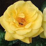 Розы Золотой Юбилей