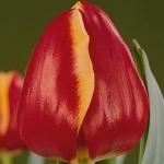 Тюльпаны Роландс Глори