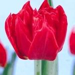 Тюльпаны Ред Карпет
