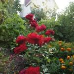 Розы Ингрид Вейбулл