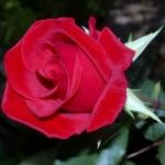 Розы Крайслер Империал