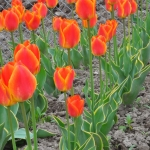 Тюльпаны Окура