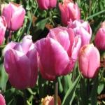 Тюльпаны Холланд Бьюти