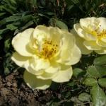 Розы Лоредо