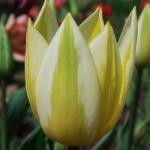 Тюльпаны Антуанетта
