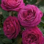 Розы Олд Порт
