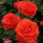 Розы Сателлите
