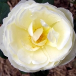 Розы Мэри Вебб