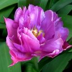 Тюльпаны Дабл Прайс