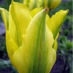 Тюльпаны Формоза