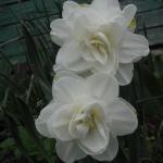 Нарциссы Обдам