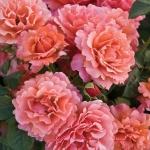 Розы Фрагрант Дрим