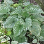 Brunnera Silver Vings