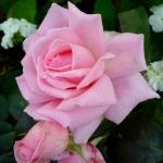 Розы Хелен Робинсон