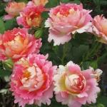 Розы Роуз дес Систерсинс