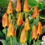Тюльпаны Гламурлэнд
