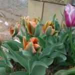 Тюльпаны Артист