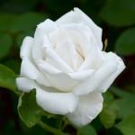 Les roses Frau Karl Drushki
