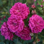 Розы Перпл Рэйн
