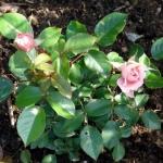 Розы Розетти Роуз