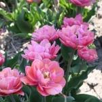 Тюльпаны Пинк Камео