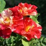 Розы Кристоф де Комбеджан