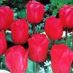 Тюльпаны Зе Куре