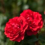 Розы Шлосс Маннхеим