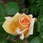 Розы Винер Шарм