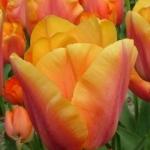 Тюльпаны Манхэттен
