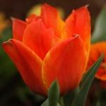 Тюльпаны Кап Код