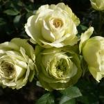 Розы Лавли Грин