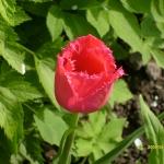 Тюльпаны Бургунди Лейс