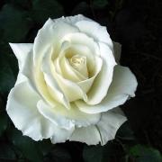 Розы Тинек