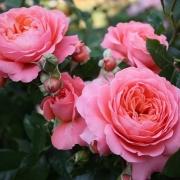 Розы Пинк Абунданс