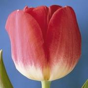 Тюльпаны Кристмас Стар