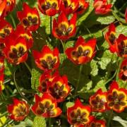 Тюльпаны Литтл Принцесс