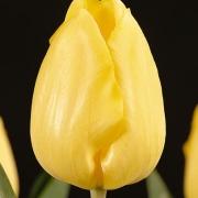 Тюльпаны Жанте Бетон