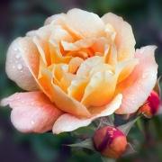 Розы Саусэмптон