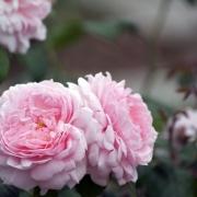 Розы Эглантин