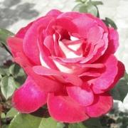 Розы Хейматмелоди