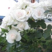 Розы Аспирин Роуз