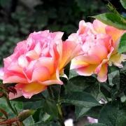 Розы Поль Сезанн