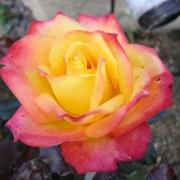 Розы Алинка