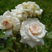 Розы Шваненси