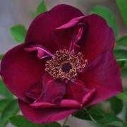 Розы Базис Перпл Роуз
