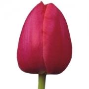Тюльпаны Примавера