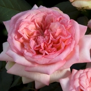 Розы Джорж Сэнд