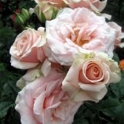 Розы Маджестик