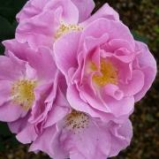 Розы Лаки